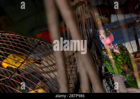 Un oiseau animal (un perroquet amazonien), affecté par une perte grave de plumes, est vu à l'intérieur d'une cage à oiseaux dans le marché des oiseaux à Cartagena, Colombie. Banque D'Images