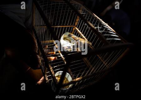 Un oiseau animal (canari sauvage) est vu à l'intérieur d'une cage à oiseaux accrochée dans l'ombre dans le marché aux oiseaux à Cartagena, Colombie. Banque D'Images