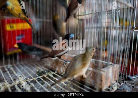 Les oiseaux capturés (minias tricolores et canaris sauvages) sont vus à l'intérieur d'une cage à oiseaux dans le marché aux oiseaux de Cartagena, en Colombie. Banque D'Images