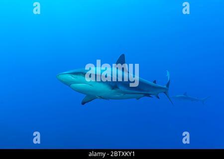 Requin noir (Carcharhinus limbatus), eau bleue, Océan Atlantique, Caraïbes, Bahamas Banque D'Images