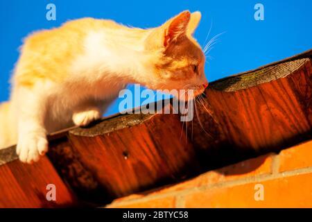 le chat au gingembre sur le toit chasse pour les moineaux