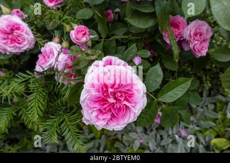 Roses en fleur: Rose populaire du printemps à l'été floraison David Austin arbuste rose, Gertrude Jekyll, floraison dans un jardin à Surrey, au sud-est de l'Angleterre Banque D'Images