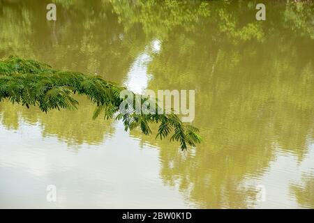 Une fougère verte et verdoyante surplombant l'eau sale des marais verts Banque D'Images