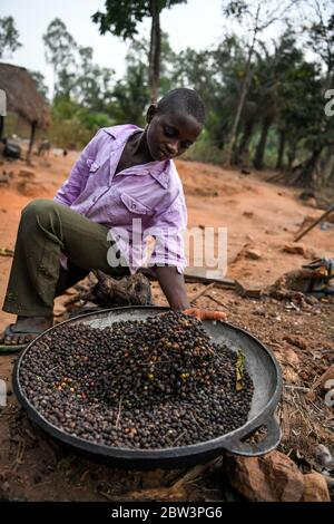 Afrique, Afrique de l'Ouest, Togo, Kpalime. Un jeune homme montre les grains de café dans un plateau