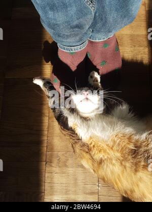 Chat de gingembre mignon jouant avec des jambes dans des chaussettes sur parquet en plein soleil.