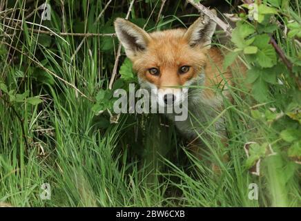 Un magnifique renard roux sauvage, Vulpes vulpes, chasse dans un champ au printemps.