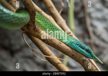 Serpent vert à long nez, serpent Rinoceros Ratsnake chassant dans les arbres entre les branches