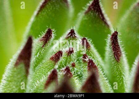 Un gros plan d'une plante de sempervivum avec de grandes pointes rouges. Les poils de la plante sont clairement visibles.