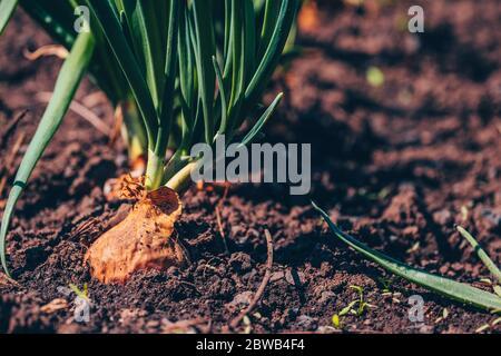 Gros plan de la culture de l'oignon dans le jardin. Oignon en fleur dans le sol. Concept d'espace pour votre texte.