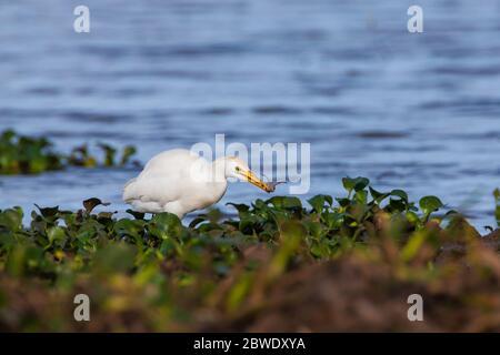 Egret de bétail, Bubulcus ibis, avec une grenouille au bord du lac de Refugio de la vida silvestre Cienaga de las Macanas, province de Herrera, République du Panama. Banque D'Images