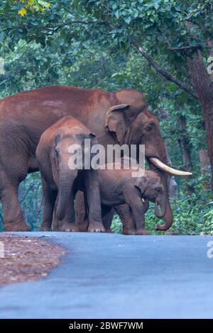 Éléphant d'Asie ou Elepha maxima dans la forêt de Kuldiha Odisha Inde