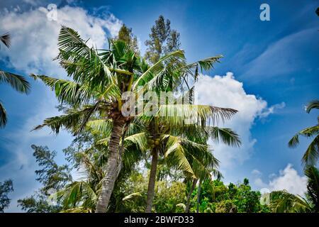 Magnifique arbre géant de noix de coco avec noix de coco sous le beau ciel bleu vif