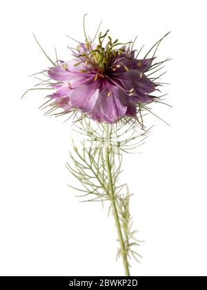 Fleur rose unique de l'amour dans la brume, Nigella damascena, sur fond blanc