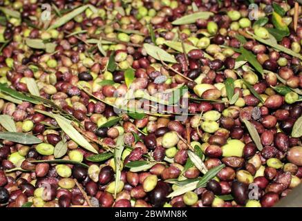 Nettoyage des olives à l'eau douce dans un moulin à huile d'olive lors du processus de production d'huile d'olive extra vierge à Attica, Grèce. Banque D'Images