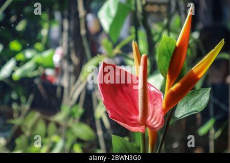 Belle fleur d'oiseau de paradis (Strelitzia reginae) sur fond vert Banque D'Images