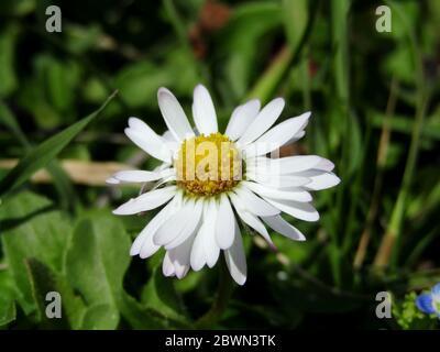 Taraxacum albidum pissenlit en gros plan dans la prairie de Voïvodine