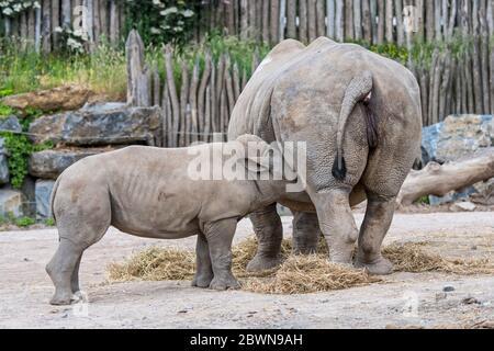Femelle rhinocéros blanc / rhinocéros blanc (Ceratotherium simum) mère bébé allaiteux veau au zoo Banque D'Images