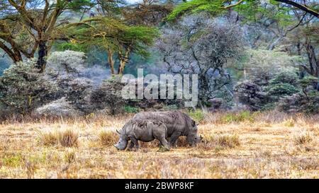 Bébé et mère de race blanche, dans la forêt d'arbres de fièvre du lac Nakuru, Kenya en Afrique Banque D'Images