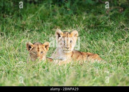 Deux chouettes petits lions couchés ensemble dans les prairies du Kenya, en Afrique
