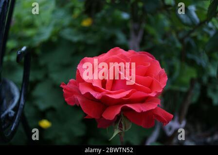 (Rosa Chinensis) Rose rouge avec des gouttes de rosée dans le jardin Banque D'Images