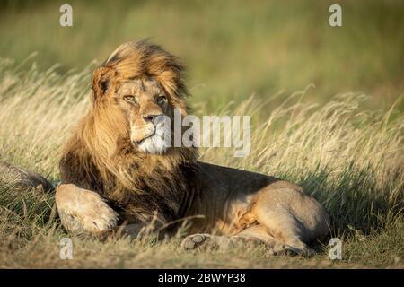 Image d'un grand lion mâle adulte couché avec le vent soufflant à travers sa manie dans le Parc National du Serengeti Tanzanie