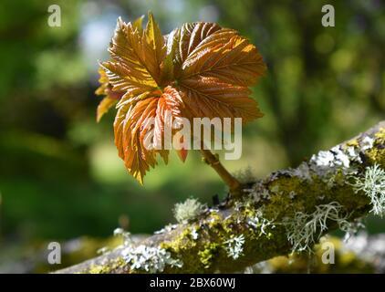 Nouvelle feuille de Sycamore s'ouvrant sur une branche couverte de lichen.