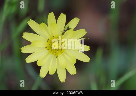 Dandelion faux, Pyrrhopappus sp.
