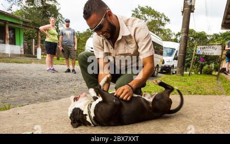 Homme jouant avec le terrier de taureau à fosse, dos Rios, Costa Rica Banque D'Images