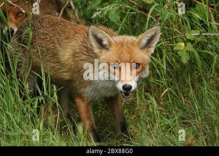 Un magnifique renard roux sauvage, Vulpes vulpes, chasse dans un pré.