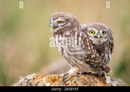 Deux jeunes chouettes (Athene noctua) assises sur une pierre. Gros plan.