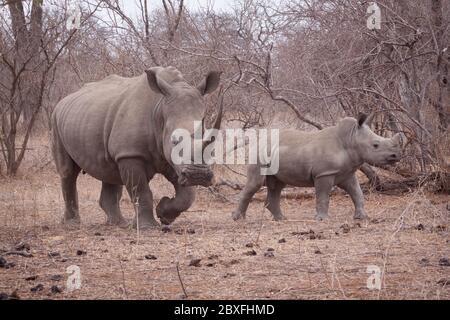 Mère et bébé rhinocéros plein corps vue latérale comparaison marche avec fond sec d'hiver dans Kruger Park Afrique du Sud Banque D'Images