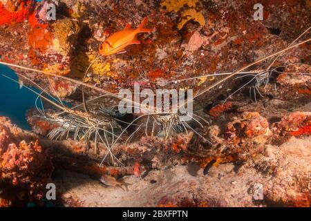 Photo sous-marine de homards se cachant au milieu des récifs coralliens Banque D'Images