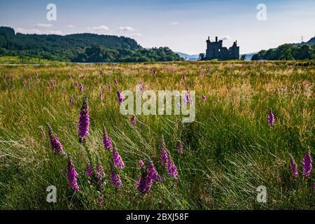 Paysage rural écossais d'été avec un champ plein de fleurs sauvages pourpres et silhouette du château de Kilchurn en arrière-plan.