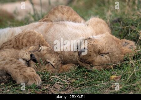 Deux adorables petits lions se câliner tout en dormant dans l'herbe. Photo prise à Masai Mara, Kenya.