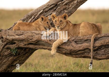 Deux petits lions se trouvent sur la branche d'un arbre tombé. Photo prise dans la réserve nationale de Maasai Mara, Kenya.