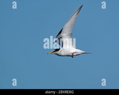 Petite sterne (Sternula albifrons) en vol avec ciel bleu en arrière-plan Banque D'Images