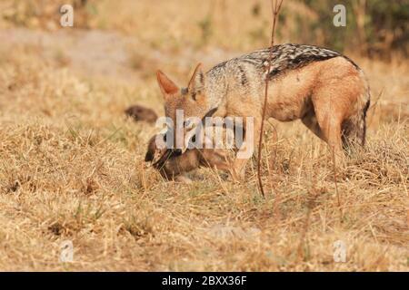 Jackal à dos noir (Canis mesomelas), chiots et maman Banque D'Images