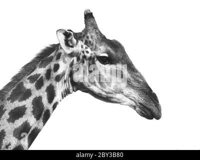 Portrait de girafe en noir et blanc (isolé) Banque D'Images