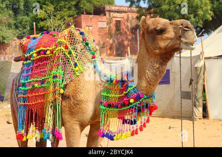 Chameau décoré pendant le festival à Pushkar Inde Banque D'Images