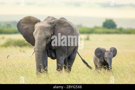 Mère et bébé éléphant marchant avec leurs oreilles ouvertes dans les plaines de Masai Mara Kenya Banque D'Images