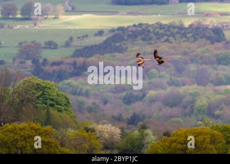 Deux cerfs-volants rouges survolant des arbres au bord de la lande, Wharfedale, Royaume-Uni Banque D'Images
