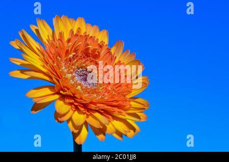 Fleur de Gerbera orange sur fond de ciel
