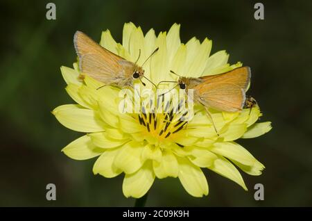Arogos Skippers, Atrytone arogos, nectaring from False Dandelion, Pyrrhopappus sp.