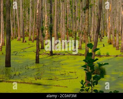 Marais vert plein d'algues dans la forêt Banque D'Images