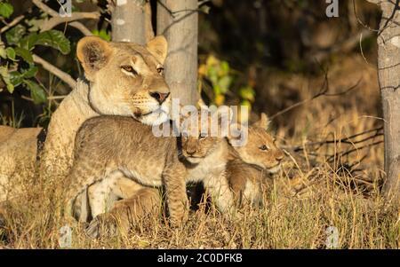 Une lionne adulte et ses deux petits lions reposant sur l'herbe sous un arbre en plein soleil à Savuti Botswana