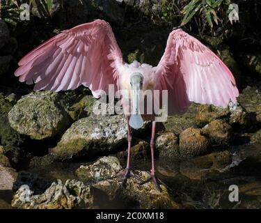 Oiseau de roseate Spoonbill avec ailes étalées debout sur une roche avec fond de feuillage et roches dans son environnement et ses environs. Banque D'Images
