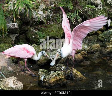 Les oiseaux de Roseate Spoonbill se tenant sur des rochers de mousse au bord de l'eau avec des ailes étalées et un arrière-plan appréciant leur environnement et les environs. Banque D'Images