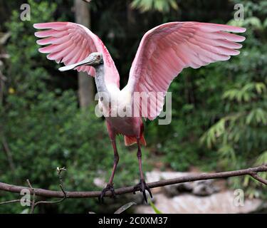 Oiseau de Roseate Spoonbill perché avec des ailes étendues avec un arrière-plan flou dans son environnement et ses environs. Magnifique oiseau de couleur rose. Banque D'Images