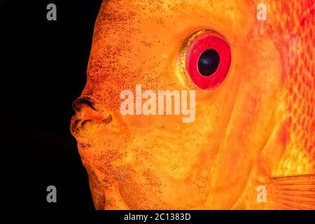 Joli portrait de poisson rouge-orange discus