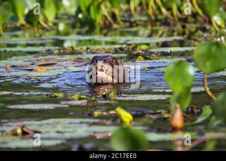 Loutre géant nageant dans une rivière, tête au-dessus de l'eau, Pantanal, Brésil